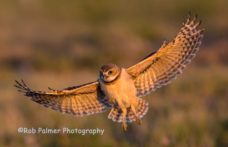 Burrowing Owlet flying in beautiful light.