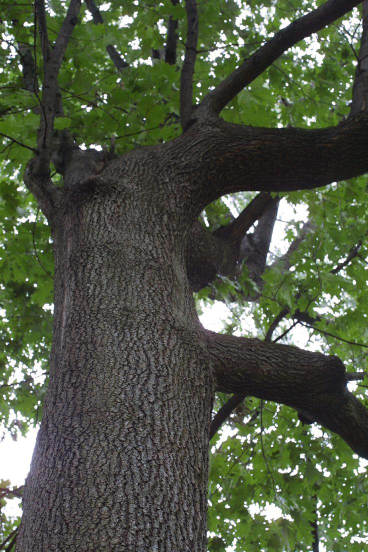 Black Oak Tree | Quercus velutina (black oak) - whole tree ...