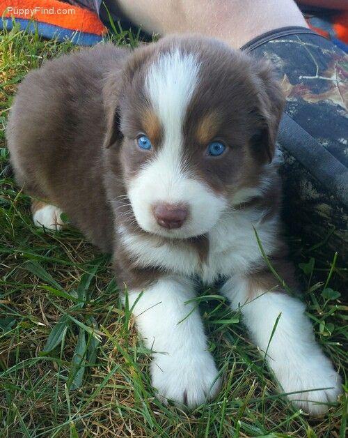 BET carrier Australian Shepherd puppy