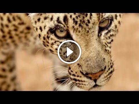 Büyük Kediler : Kraliçe Leopar – Türkçe Belgesel İzle: Merhaba, sizler için sitemize eklenen… #Belgesel #jaguarbelgeseli #kaplanbelgeseli