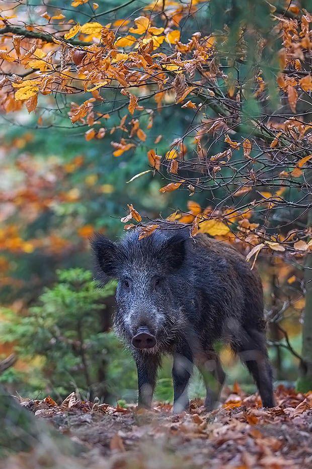 Cool Wildschweinfrischling im Buchenwald auf Nahrungssuche Schwarzwild Wildsau Sus scrofa Wild WildschweinWildschweinFerkelW lderWilde