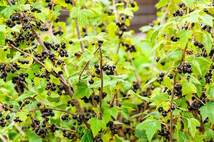 Beskära och ta sticklingar av vinbärsbuskar