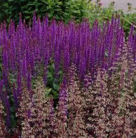 Szałwia omszona 'Violet Queen' Salvia nemorosa