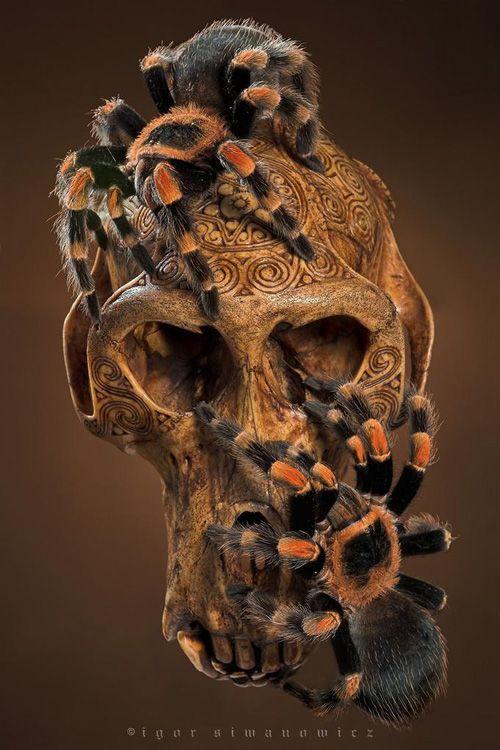 73 best images about Tarantulas on Pinterest | Cobalt blue, Rose hair tarantula and The natural