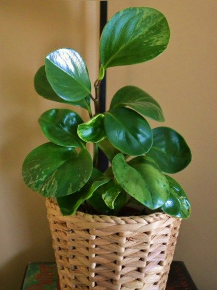 Peperomia obtusifolia, variegated Baby Rubber Plant