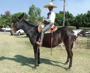 """""""Niurka""""  Raza:Mula. Sexo:Hembra. Color: Colorado. Cortesía de """"Los Garañones, Caballos Sementales"""", Guadalajara, Jalisco (México)."""