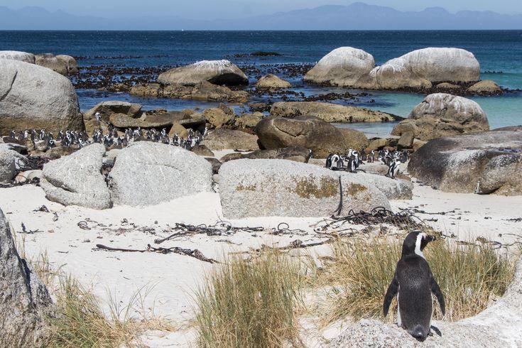 boulders-beach-pinguine-1