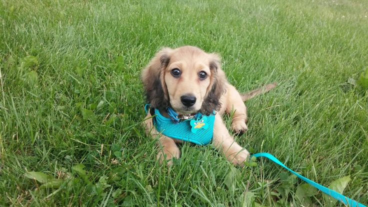 Our Long haired shaded English cream miniature dachshund (Breeder: reevesdachs.com)