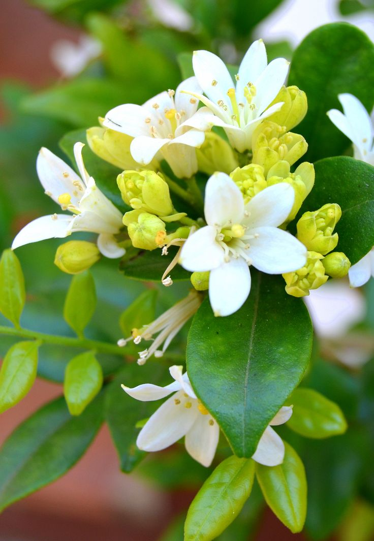 Spring blossoms with a heady scent of jasmine and orange blossom by Rosemary Hall