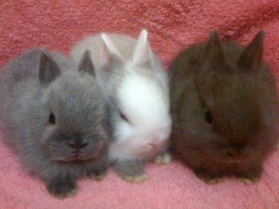 Netherland Dwarf bunnies, so adorable!