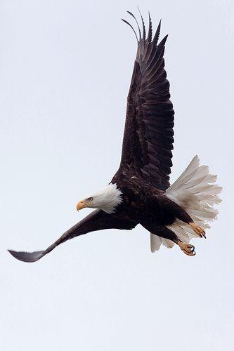 El águila calva es un símbolo muy importante de los Estados Unidos. Representa la libertad y patriotismo de nuestra nación y independencia.