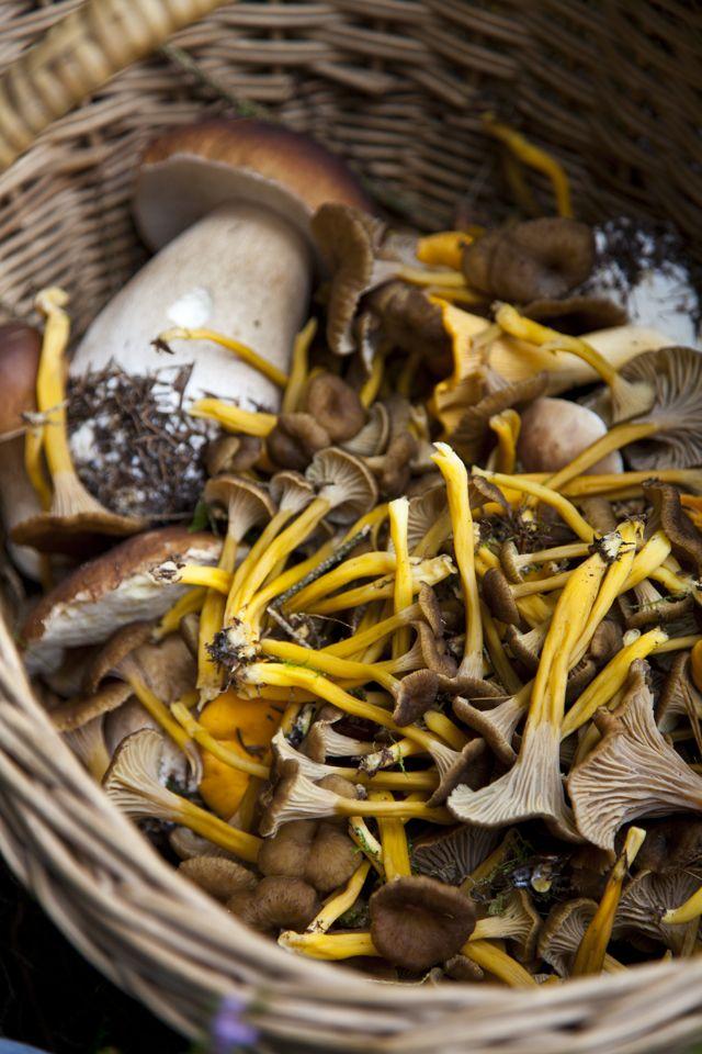Wild mushroom hunting and a recipe for cheese and mushroom tart   Donal Skehan