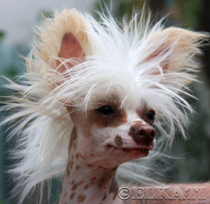 Raza de Perro: El Crestado Chino xxxxxxxxxxxxxxxxxxxxxxxxxxxxxxxxxxxxxxxxxxxxxxxxxxxxxxxxxxxxxxxxxxxxxxxxxxxxxxxxxxxxxxxxxxxxxxxxxxxxxxxxxxxxxxxxxxxxxxxxxxxxx. www.theanimalking.com