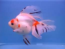 Kết quả hình ảnh cho goldfish ryukin table