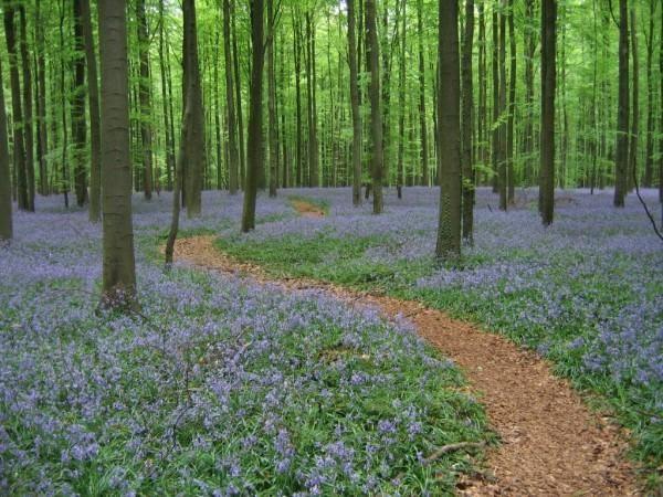 Hallerbos, el impresionante bosque azul