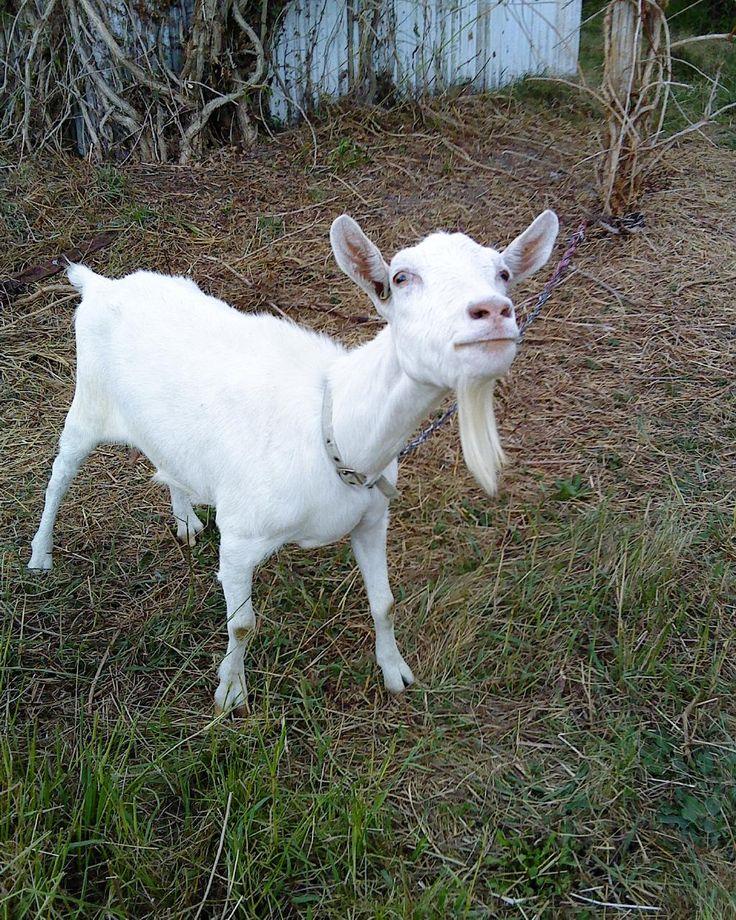 Lady Penelope - gone to the goat rainbow bridge - very sweet goat