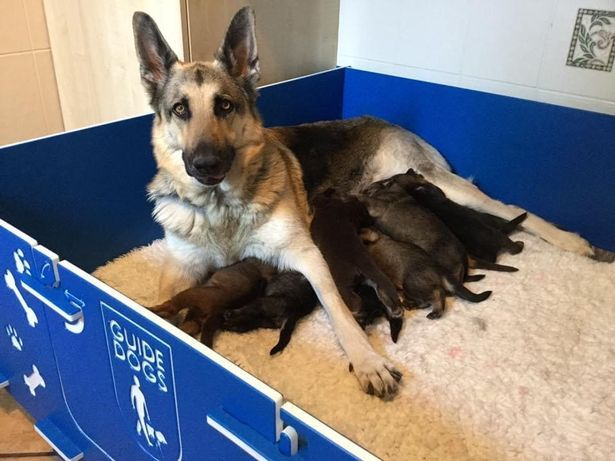 Watch Adorable Lockdown Litter Of Guide Dog Puppies In 2020 Guide Dog Training Dog Charities German Shepherd Puppies