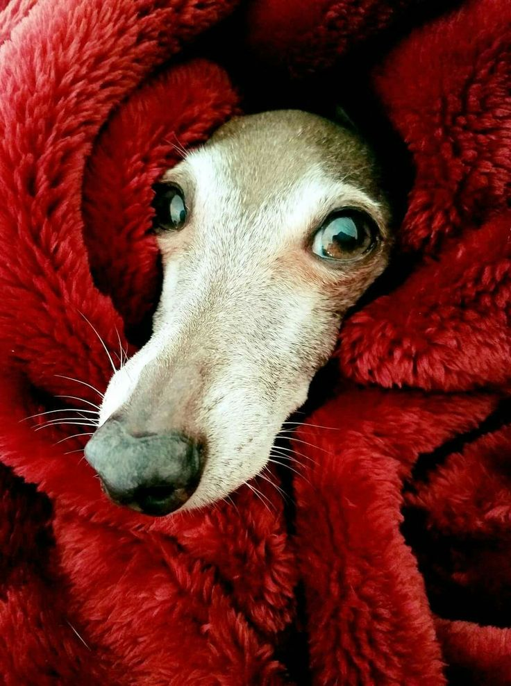 Brrrr...it's cold outside. Diego the Italian Greyhound