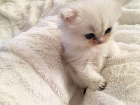 FINN – Kosete hellig birma kattunger