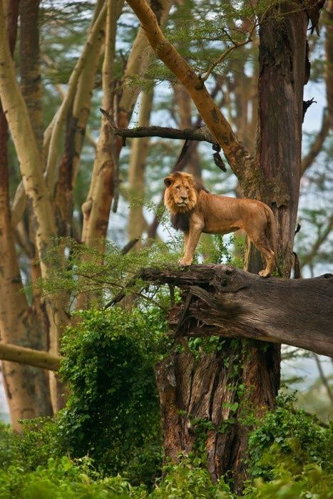 The King, Africa
