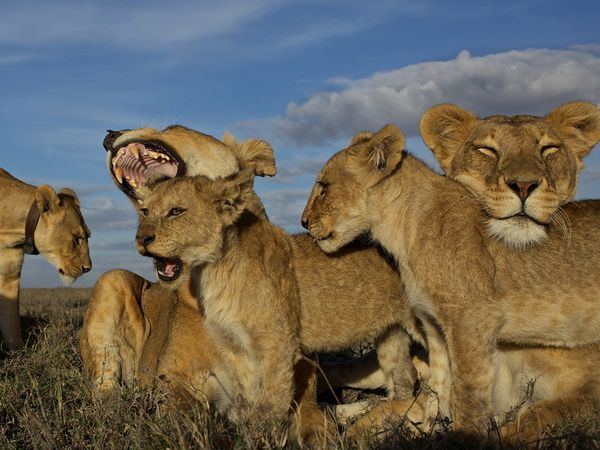 "Photograph by Michael Nichols, National Geographic.    A pride of lions behaves naturally for the camera—a remote-controlled car outfitted with still and video cameras to capture the lions at ground level. The equipment was field tested by photographer Michael ""Nick"" Nichols while on assignment for National Geographic magazine."