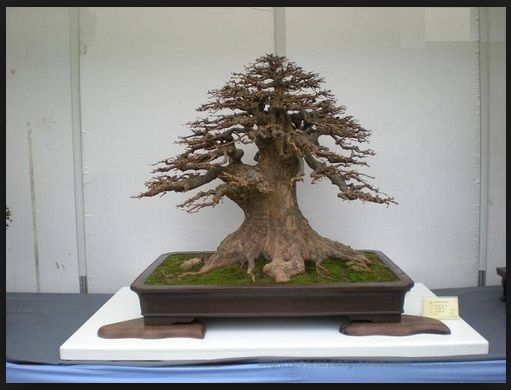 foto-bonsai-cina