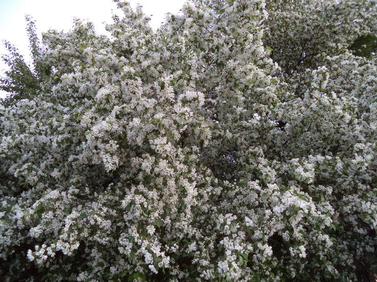 Весной тысячи цветов; осенью урожайный месяц.  Летом освежающий ветер; зимой снег.  Если у вас в голове нет ничего бесполезного,  Тогда любой сезон хорош.   (Один из японских мастеров, точно, увы, не знаю)   Снимок мой, весна 2016 г.