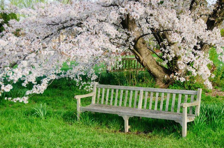Genießen Sie die schönen Blüten Hartriegel Baum durch das sitzen auf diesem rustikalen Holzbank, Satz in den grasbewachsenen Boden.