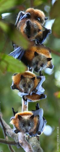 Bats of the genus Pteropus, belonging to the megabat suborder, Megachiroptera, are the largest bats in the world. They are commonly known as the fruit bats or flying foxes among other colloquial names. They live in the tropics and subtropics of Asia, Australia, East Africa, and a number of remote oceanic islands in both the Indian and Pacific Oceans. At least 60 extant species are in this genus. Wikipedi