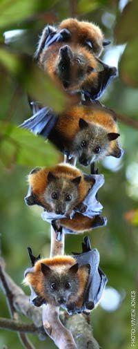 flying foxes under threat-5.jpg