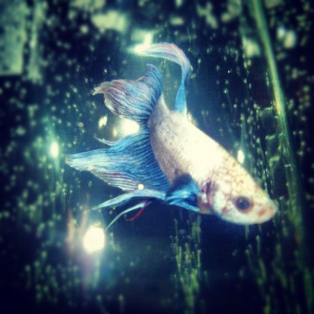 25 best fishy friends images on pinterest fish aquariums for What fish are compatible with betta fish