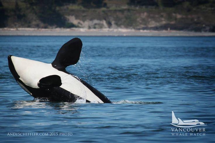 J42 Echo, April 2015 Photo by Vancouver Whale Watch