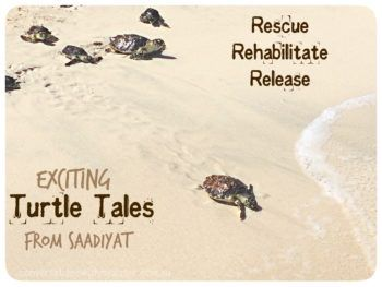 ||Exciting Turtle Tales from Saadiyat: Rescue Rehabilitate Release || conversationswithmysister.com.au