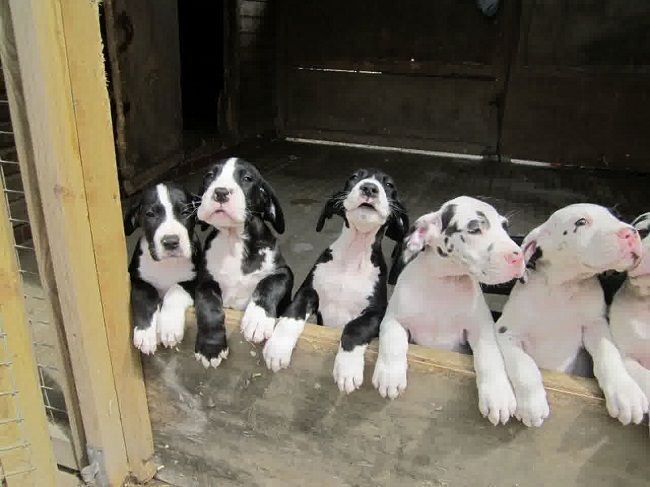 #Great #Dane #puppies I want one!!!!!