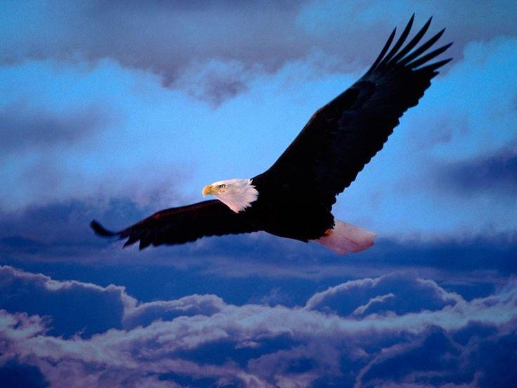 Célèbre Les 25 meilleures idées de la catégorie Aigle royal sur Pinterest  LK94