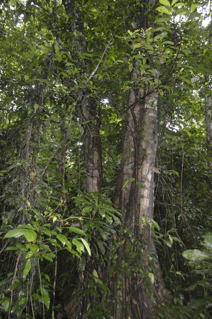 Árboles de la Sede de Estudios Ecológicos y Agroamnbientales- Tulenapa