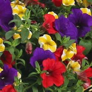 Three in one plant combination! Enjoy the beautiful colors of the 'Starry Night' combination, included in this combo are Supertunia® Royal Velvet, Supertunia® Red and  Superbells® Lemon Slice.( A Top Seller for 2013)
