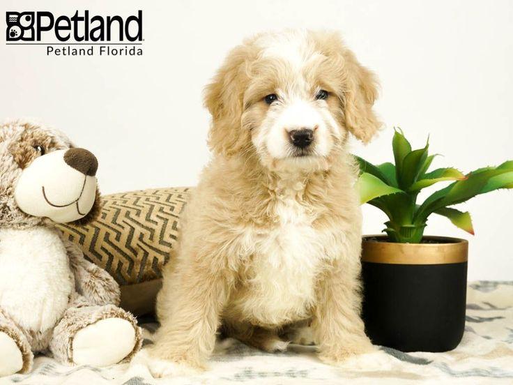 Petland Florida has Miniature Goldendoodle puppies for