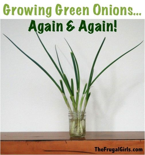 Growing Green Onions... Again and Again! ~ from TheFrugalGirls.com {this simple trick is so easy, and it really works!} :)  #onions