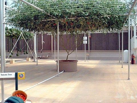 Rare Italian Tree Tomato 15 Seeds - Grows 25 Feet Tall!