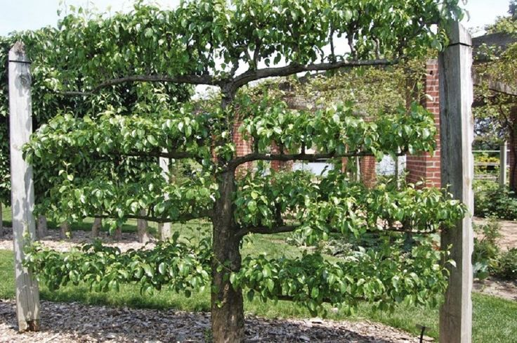 Early American Gardens: Espalier & Wall Trees in Early America
