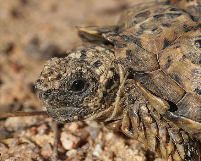 In September 2015, the Homopus Research Foundation will conduct scientific fieldwork on tortoises in South Africa. There is room for 3 volunteers. If you are looking for a meaningful way to spend your holidays in a biodiversity hotspot, check here: http://home.caiway.nl/~loehr/research.html. Male Homopus signatus signatus | Flickr - Photo Sharing!