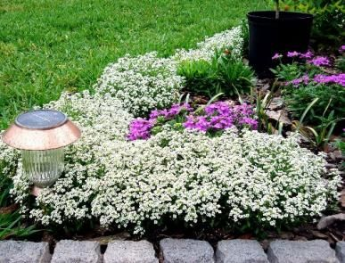 Carpet Of Snow Alyssum For Dress And Butterfly Sculptures To Sit On
