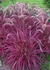 Pennisetum setaceum (Variegated Red Fountain Grass)