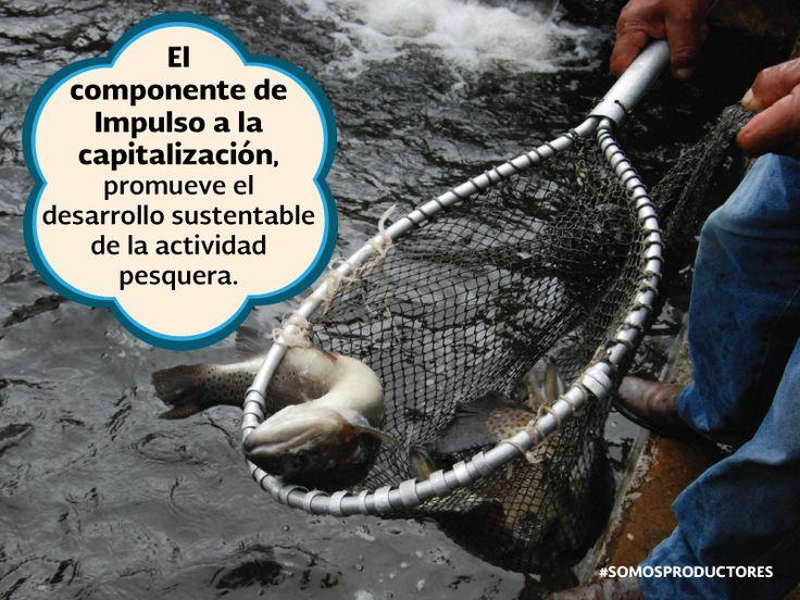 El componente de Impulso a la capitalización, promueve el desarrollo sustentable de la actividad pesquera. SAGARPA SAGARPAMX #SomosProductores