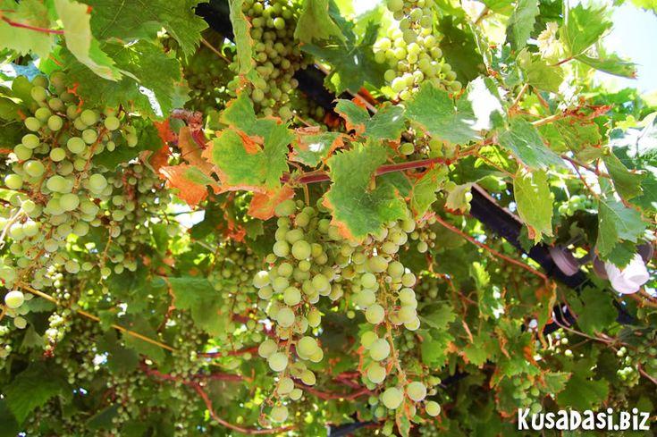 Grapes, Guzelcamli.