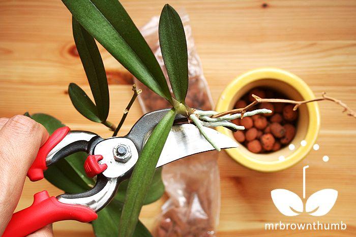 Orchid Keiki pruning