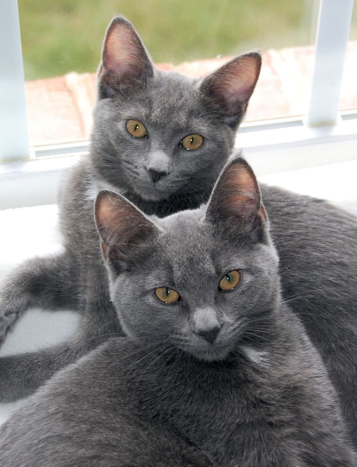 """The Korat was discovered in Ampur Pimai of the Korat province in Thailand. The earliest known record of the Korat appears in The Cat-Book of Poems or Smud Khoi of Cats, produced some time during the Ayudhya Period of Siamese History (1350-1767). This book presents the seventeen """"good luck"""" cats of Thailand, including the Korat, and is presently located at Bangkok's National Library."""
