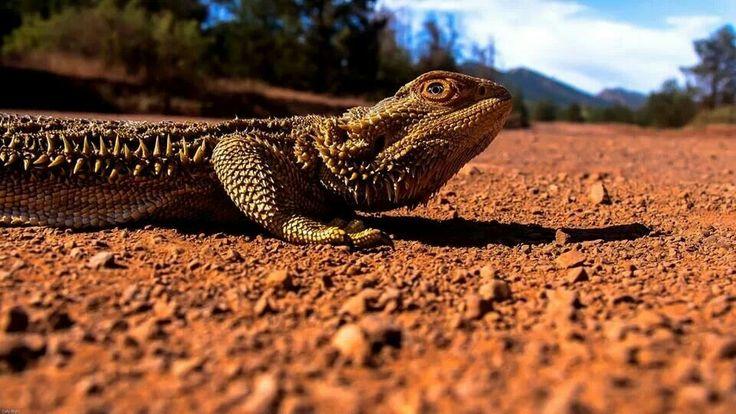The lizard :)
