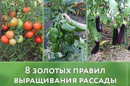 8 золотых правил выращивания рассады